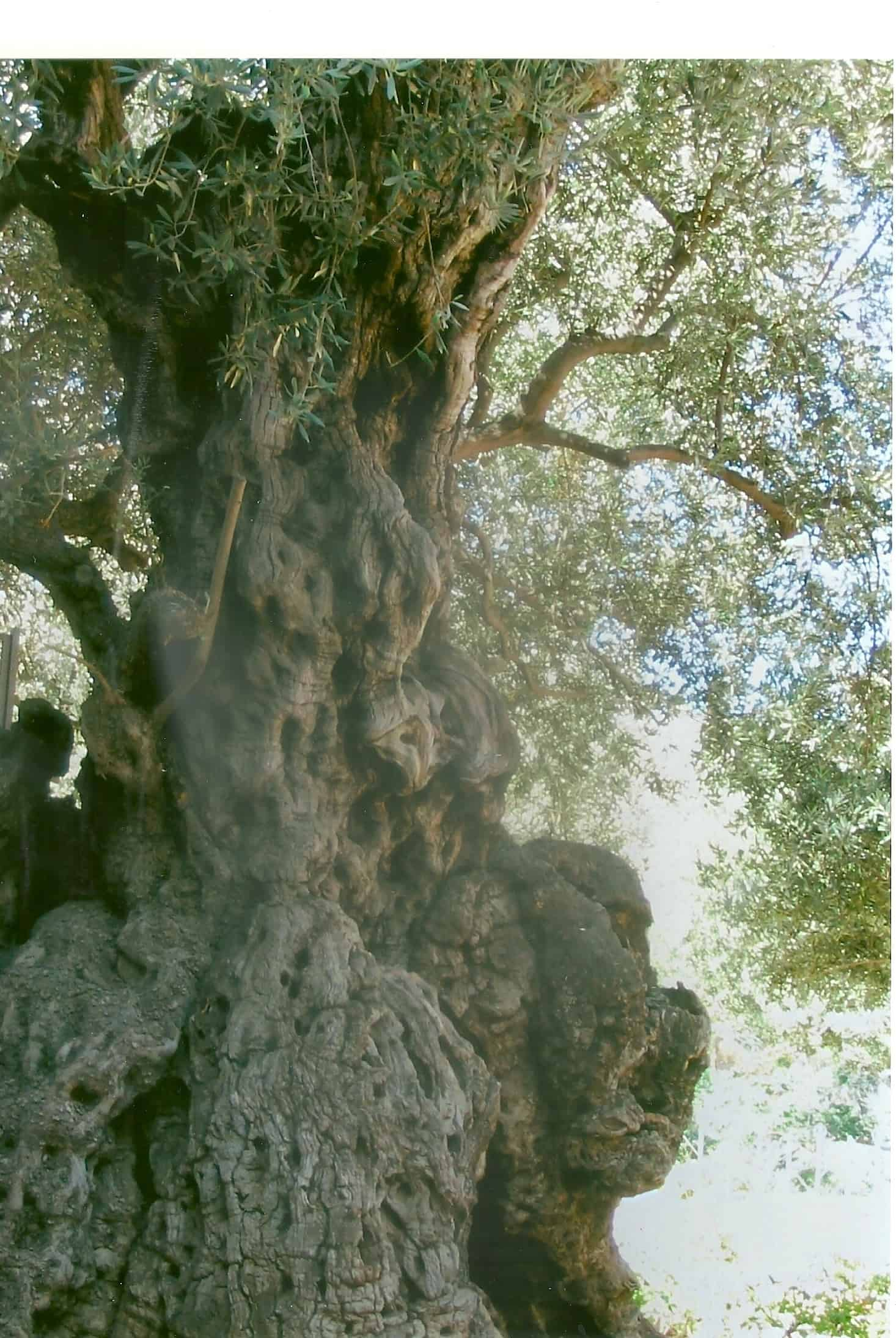 35 lent pilgrimage ancient roots ruth everhart for Age olive trees garden gethsemane